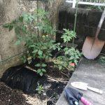 ミニトマトの葉に黒い斑点・・・